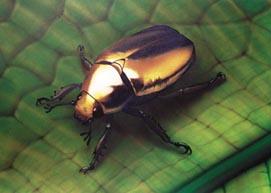 Käfer (Airbrush auf Zeichenkarton)